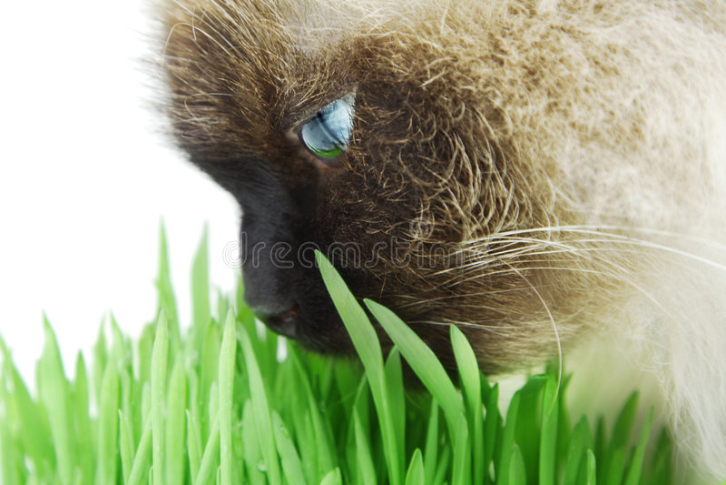 猫草绿色嗅到 免版税库存照片