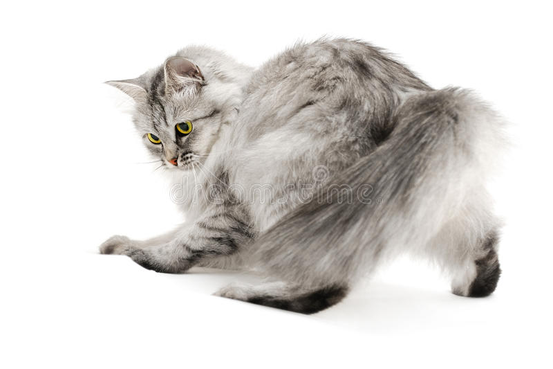 猫蓬松嬉戏 免版税库存照片