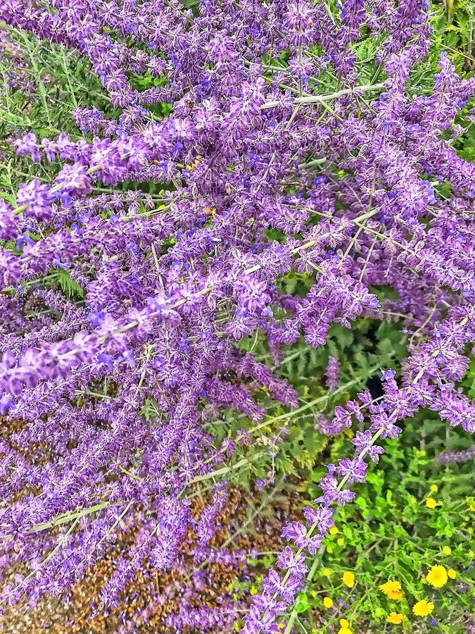 猫薄荷的开花的布什 库存照片