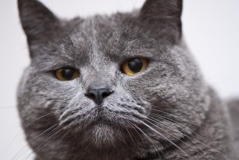 猫表达式意大利 免版税库存照片