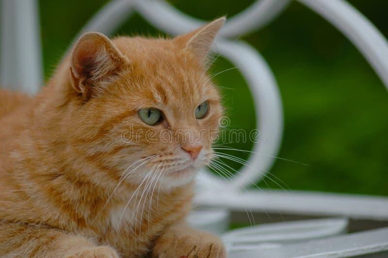猫被注视的绿色红色 免版税库存照片