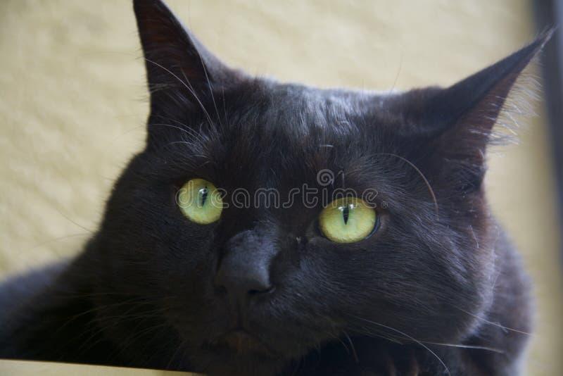 猫被注视的绿色 免版税库存照片