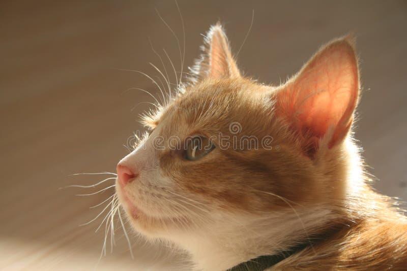 猫被注视的黄色 库存照片