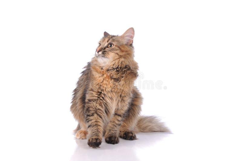 猫被隔绝在白色背景 免版税库存照片