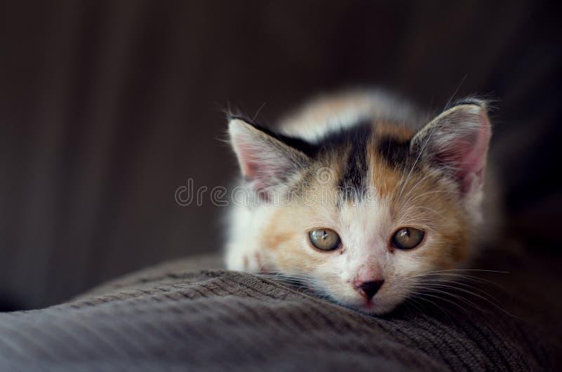 猫诚实的神色 免版税库存照片