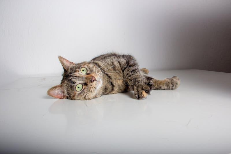 猫谎言在照相机前面放松了 免版税库存图片