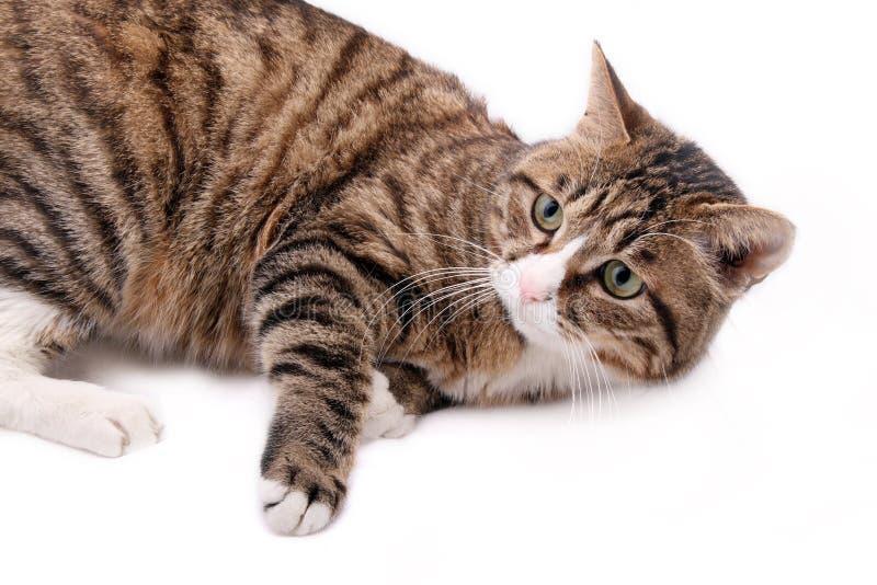 猫豹子 免版税库存照片