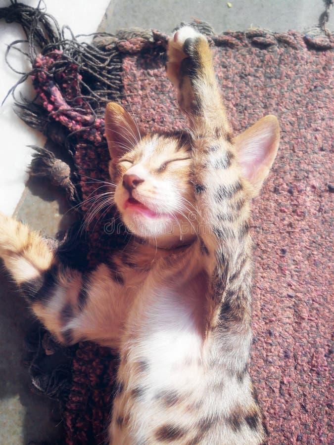 猫逗人喜爱休眠 免版税图库摄影