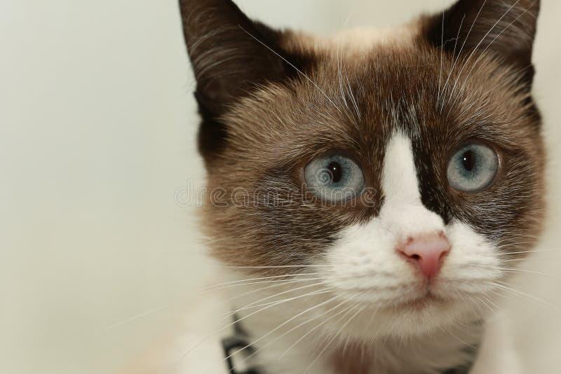 猫逗人喜爱国内 免版税图库摄影