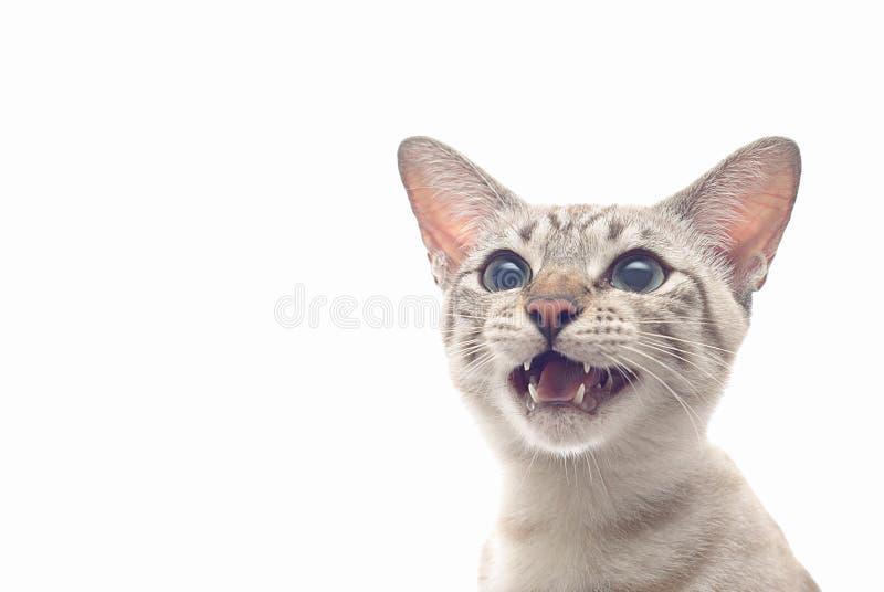 猫逗人喜爱的下颌开张 库存图片