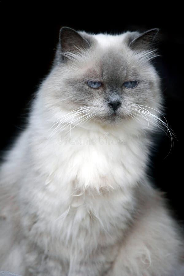 猫逗人喜爱的白色 库存图片