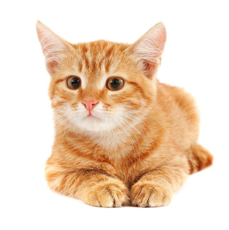 猫逗人喜爱的红色 库存照片