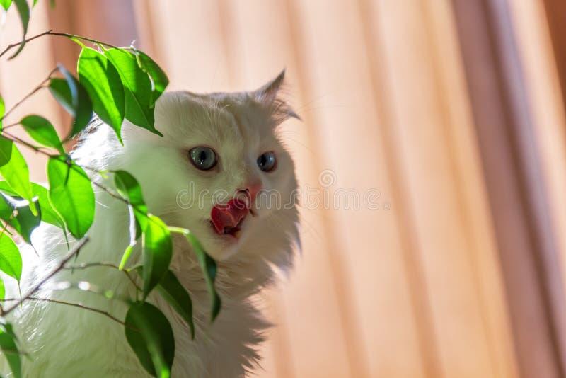 猫食等待的白色 免版税库存照片