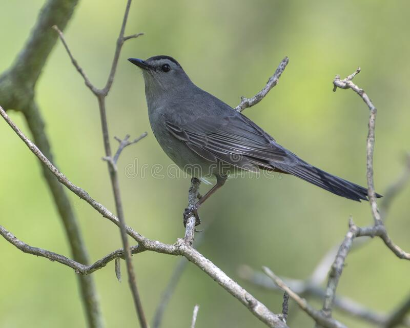 猫鸟栖息在树枝上 库存照片
