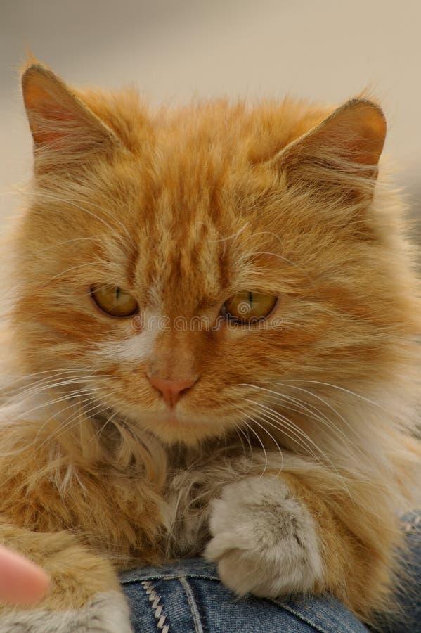 猫黄色 免版税库存图片