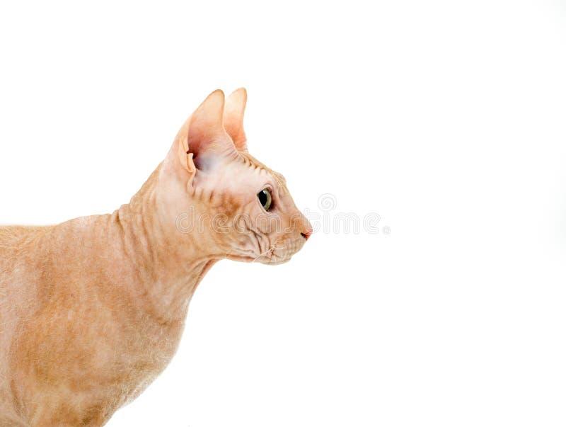 小色狗和猫交配_猫,加拿大人sphynx,关闭,隔绝在白色背景. 交配动物者, 关闭.