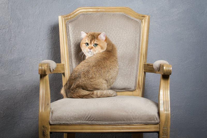 猫 在灰色织地不很细背景的幼小金黄英国小猫 免版税库存图片