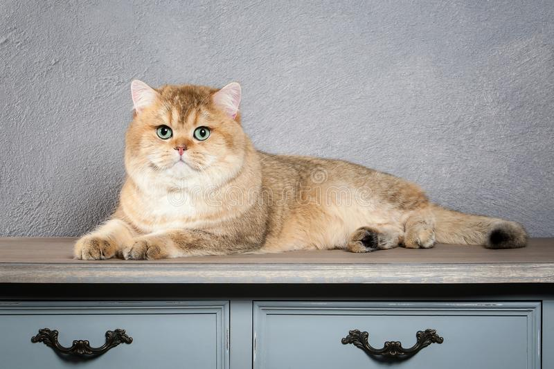 猫 在灰色织地不很细背景的幼小金黄英国小猫 图库摄影