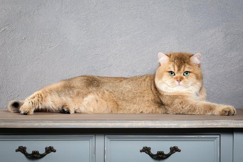 猫 在灰色织地不很细背景的幼小金黄英国小猫 免版税库存照片