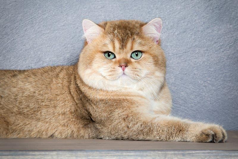 猫 在灰色织地不很细背景的幼小金黄英国小猫 库存照片