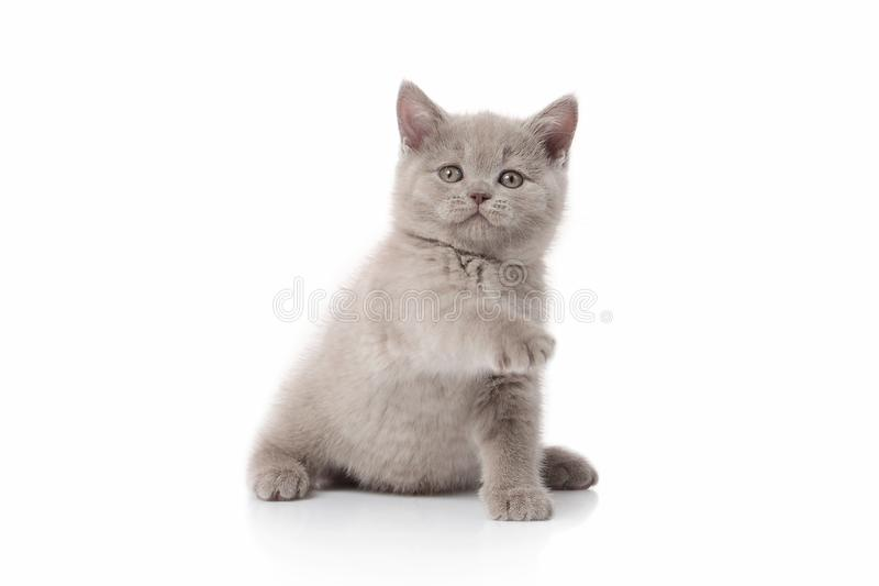 猫 在白色背景的小英国小猫 免版税库存图片