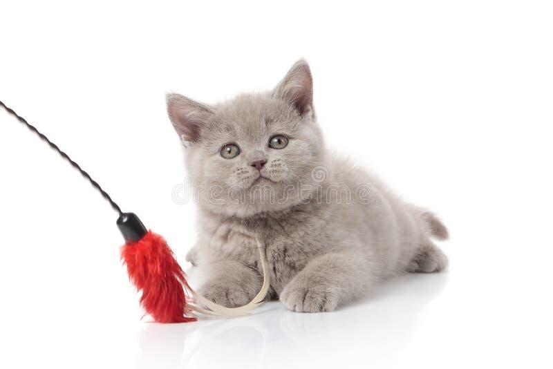 猫 在白色背景的小英国小猫 库存照片