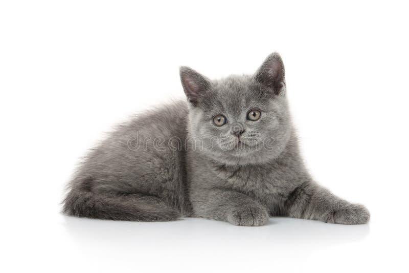 猫 在白色背景的小英国小猫 免版税图库摄影