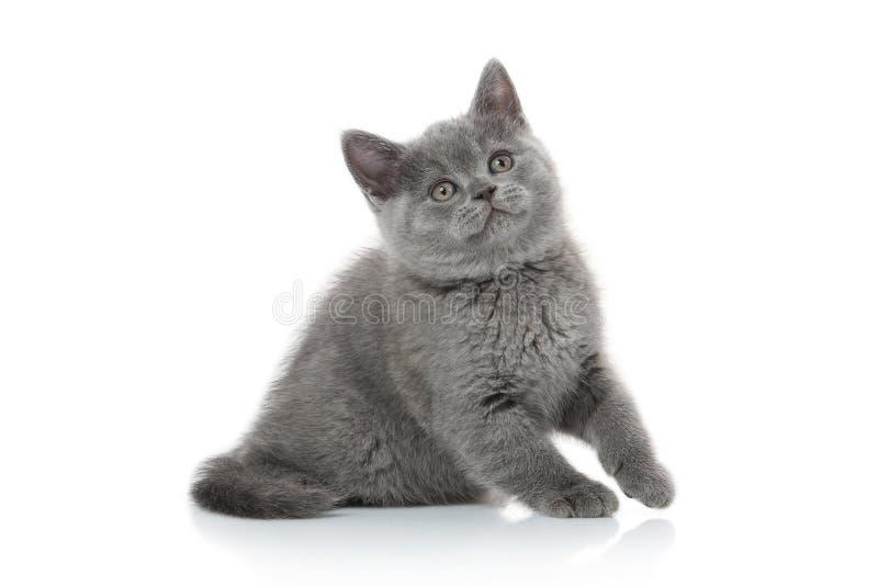 猫 在白色背景的小英国小猫 库存图片
