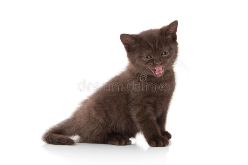 猫 在白色背景的小英国小猫 免版税库存照片