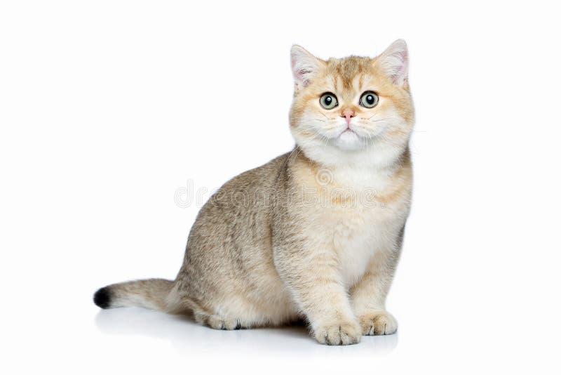 猫 在白色背景的小金黄英国小猫 库存图片