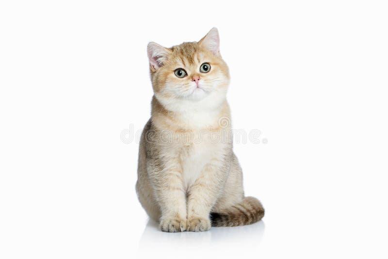 猫 在白色背景的小金黄英国小猫 免版税库存照片