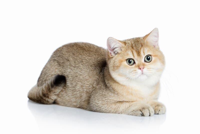 猫 在白色背景的小金黄英国小猫 免版税库存图片