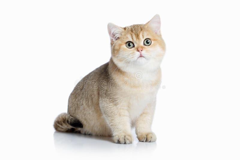 猫 在白色背景的小金黄英国小猫 库存照片