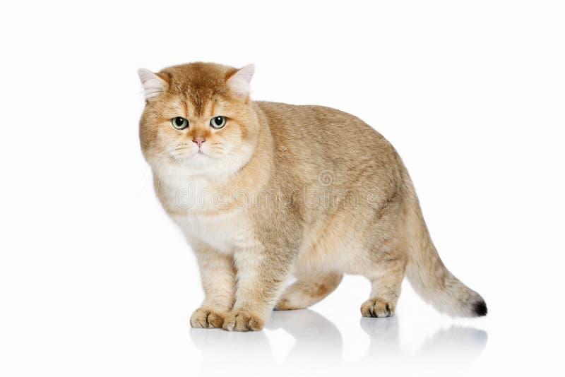 猫 在白色背景的幼小金黄英国小猫 免版税库存照片