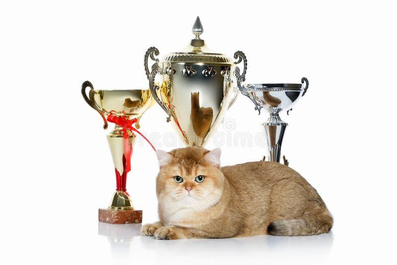 猫 在白色背景的幼小金黄英国小猫 图库摄影