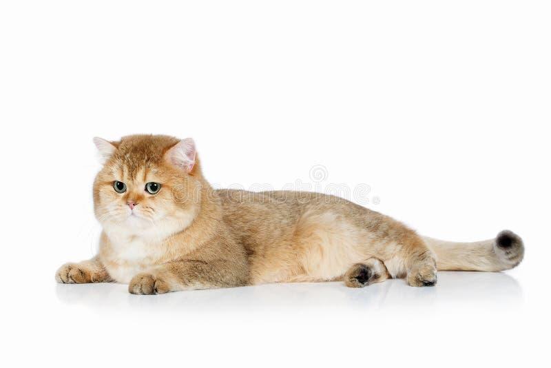 猫 在白色背景的幼小金黄英国小猫 库存图片