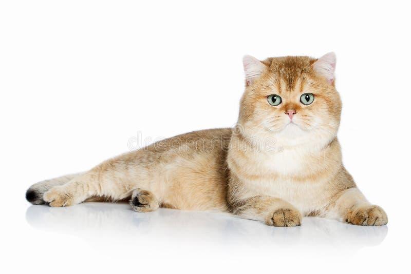 猫 在白色背景的幼小金黄英国小猫 库存照片