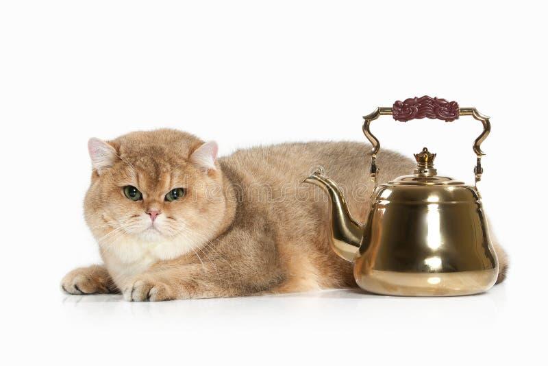 猫 在白色背景的金黄英国猫 库存图片