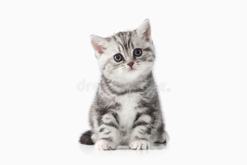 猫 在空白背景的小的银色英国小猫 免版税库存照片