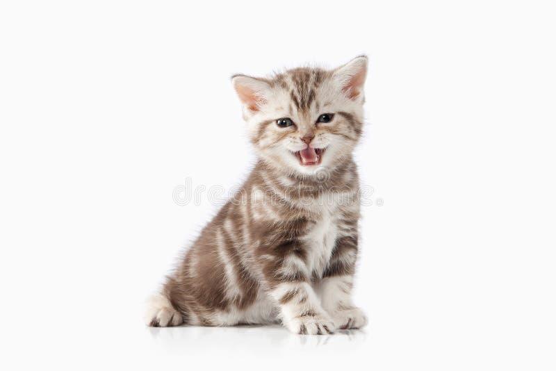 猫 小在白色背景的巧克力英国小猫 免版税库存照片