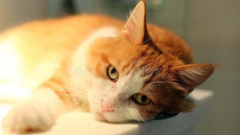 [猫]看看我8-1 免版税库存照片