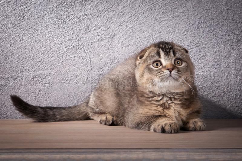 猫 苏格兰人折叠在木桌和织地不很细背景上的小猫 免版税库存图片