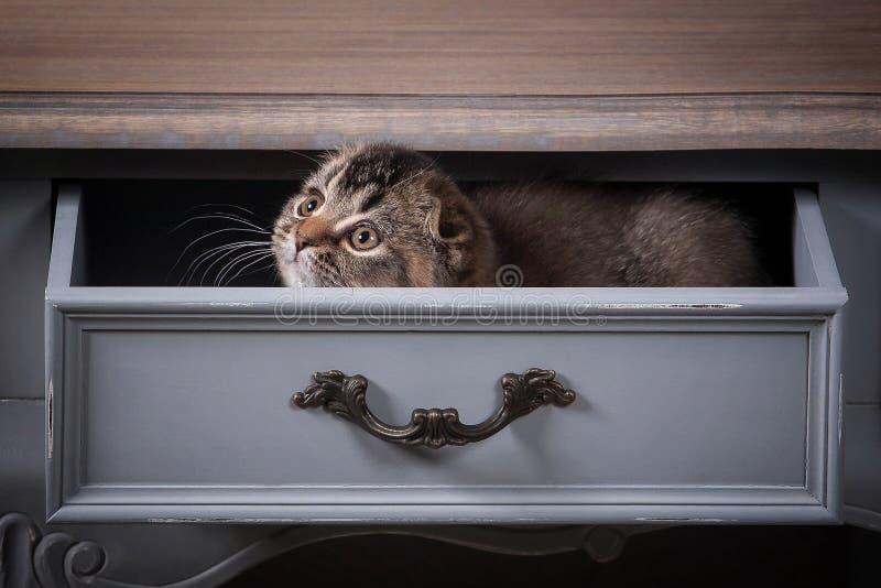 猫 苏格兰人折叠在木桌和织地不很细背景上的小猫 免版税图库摄影