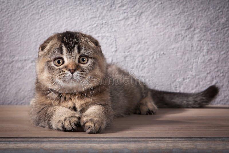 猫 苏格兰人折叠在木桌和织地不很细背景上的小猫 免版税库存照片