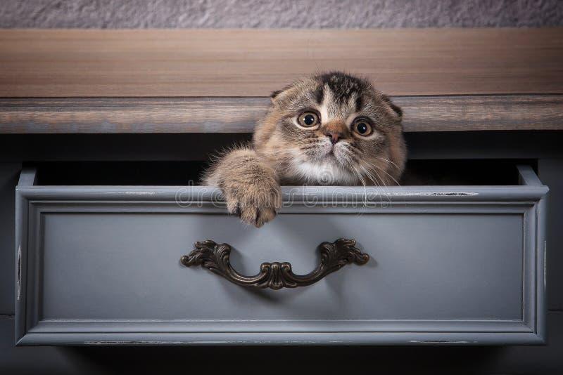 猫 苏格兰人折叠在木桌和织地不很细backgroun上的小猫 免版税库存图片