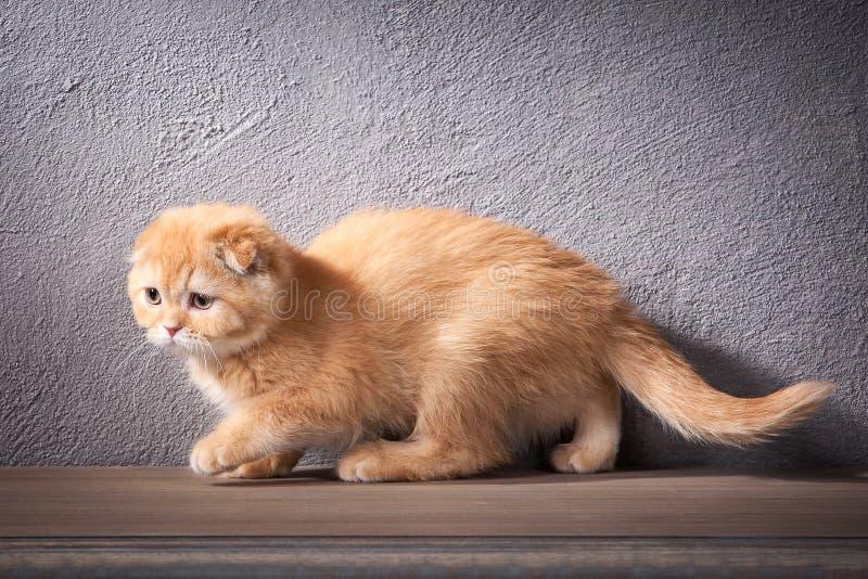猫 苏格兰人折叠在木桌和织地不很细backgroun上的小猫 免版税图库摄影