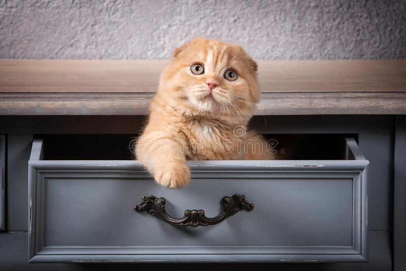 猫 苏格兰人折叠在木桌和织地不很细backgroun上的小猫 库存照片