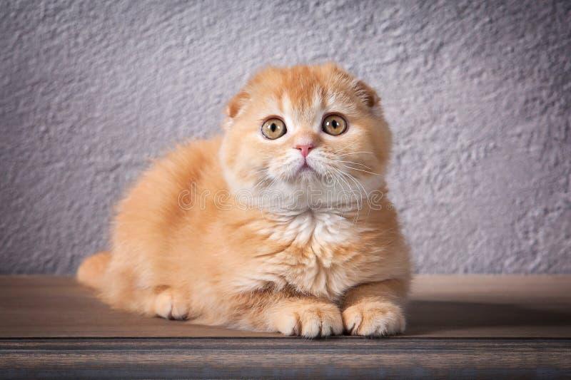 猫 苏格兰人折叠在木桌和织地不很细backgroun上的小猫 图库摄影