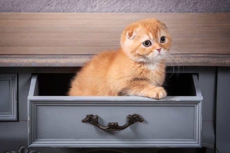 猫 苏格兰人折叠在木桌和织地不很细backgroun上的小猫 免版税库存照片