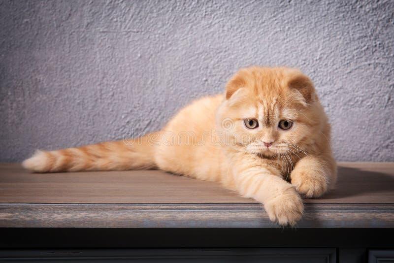 猫 苏格兰人折叠在木桌和织地不很细backgroun上的小猫 库存图片